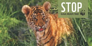 stop_illegal_trade_tiger_17112