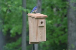 Bluebird_on_House