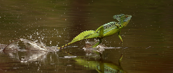 reptile-green-basilisk-710x300