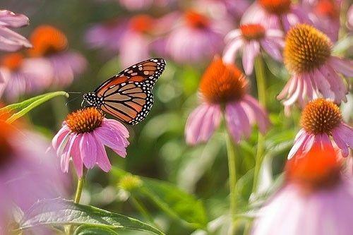 Arboretum Pollinator Garden - butterfly (Nick Sloff)