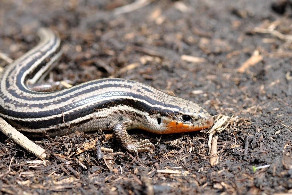 508-plestiodon_septentrionalis