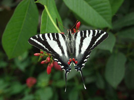 zebraswallowtaileurytidesmarcellus9796