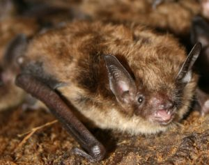 smallbrownbat707-jpg